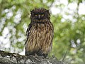 Brown fish owl Ketupa zeylonensis 03.jpg