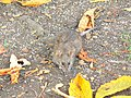 Brown rat at Marlborough, Wiltshire - geograph.org.uk - 607897.jpg