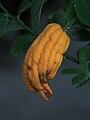 Buddha's hand fruit.jpg