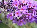 BuddlejaDavidii-flower2-hr.jpg