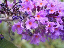 BuddlejaDavidii-flower2-hr.jpg