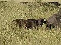Buffel kalf (6693820131).jpg
