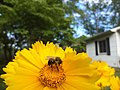 Bumblebee on Coreopsis flower.jpg