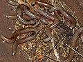 Bunch of Zebra Millipede (Diplopoda) feeding on ... (small fruits ?) (11568783565).jpg