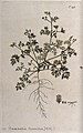 Bur parsley (Caucalis sp.); entire flowering and fruiting pl Wellcome V0042919.jpg