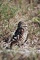 Burrowing owl, Marco Island, Florida - panoramio.jpg