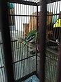 Burung cipow (ciblak).jpg