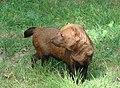 Bush dog.JPG