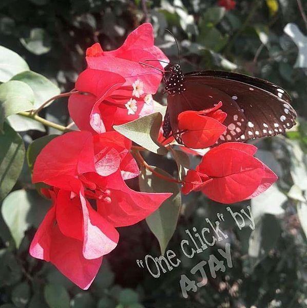 File:Butterfly one flower.jpg