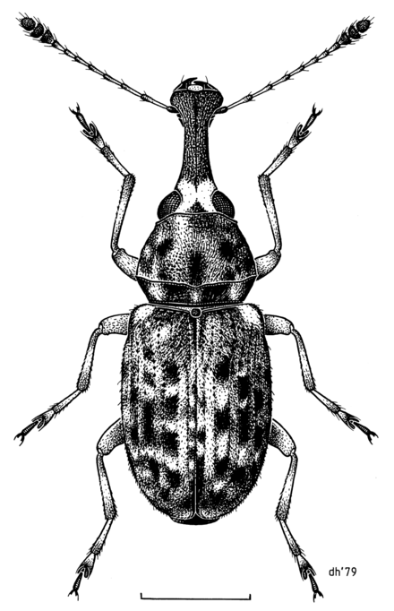 A 1979 Des Helmore drawing of the weevil Helmoreus sharpi; the genus was named after him. COLE Anthribidae Helmoreus sharpi f.png