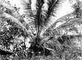COLLECTIE TROPENMUSEUM De kruin van een kokospalm Nederlands-Indië TMnr 10012588.jpg