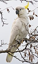 A white parrot with a grey beak and a yellow crest
