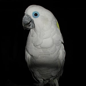 Blue-eyed cockatoo - At Walsrode Bird Park, Germany