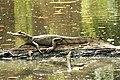 Caiman crocodilus. Spectacled Caiman (42253684125).jpg