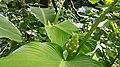 Calathea macrosepala K. Schum.jpg