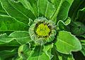 Calendula officinalis flowerbud 22122014 (2).jpg