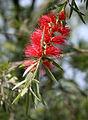 Callistemon viminalis (Weeping bottlebrush) in Hyderabad, AP W IMG 0649.jpg