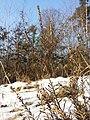 Calluna vulgaris sl26.jpg