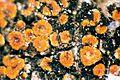 Caloplaca flavorubescens-1.jpg