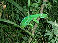 Caméléon vert à La Saline (3464440771).jpg