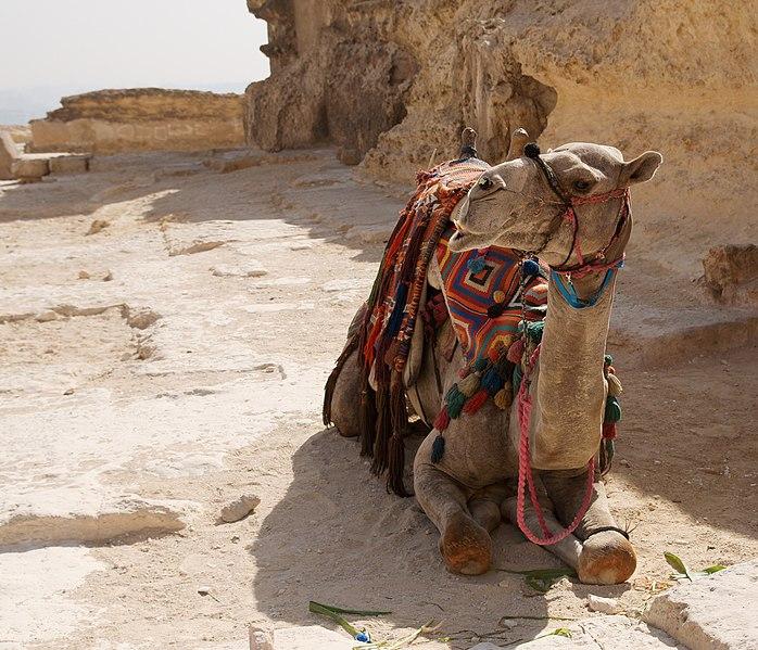 File:Camel in Giza.jpg