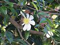 Camellia sasanqua Narumigata - Flickr - peganum.jpg