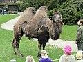Camelus bactrianus - Copenhagen Zoo - DSC09051.JPG