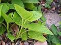Campanula latifolia subsp. latifolia Dzwonek szerokolistny 2019-05-03 04.jpg