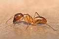 Camponotus sp Tanaemyrmex.jpg