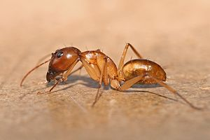 Carpenter ant - A major worker of Camponotus sp.