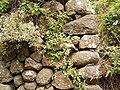 Canarina canariensis (Los Tilos) 01.jpg