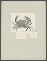 Cancer tenax - - Print - Iconographia Zoologica - Special Collections University of Amsterdam - UBAINV0274 094 15 0007.tif