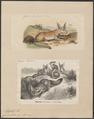 Canis cerdo - 1700-1880 - Print - Iconographia Zoologica - Special Collections University of Amsterdam - UBA01 IZ22200421.tif