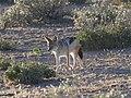 Canis mesomelas 1 MHNT.jpg