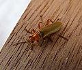 Cantharidae . Soldier Beetle (35774920075).jpg