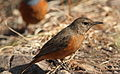 Cape Rock Thrush, Monticola rupestris at Walter Sisulu National Botanical Garden, Johannesburg, South Africa (female) (19583368846).jpg