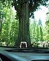Car inside tree.jpg