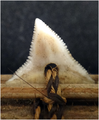 Carcharhinus obscurus tooth on Gilbertese weapon (FMNH 99071) - journal.pone.0059855.g002.png