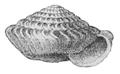 Careoradula perelegans shell.png