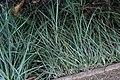 Carex flacca 4zz.jpg
