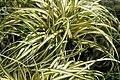 Carex hachijoensis Evergold 1zz.jpg