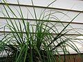 Carex meyenii (5187370405).jpg