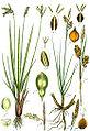 Carex spp Sturm44.jpg