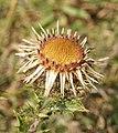 Carlina vulgaris 170805a.jpg