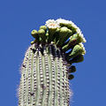 Carnegiea gigantea (1).jpg