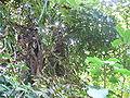 Caryota urens 0002.jpg
