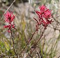 Castilleja linariifolia trio close.jpg