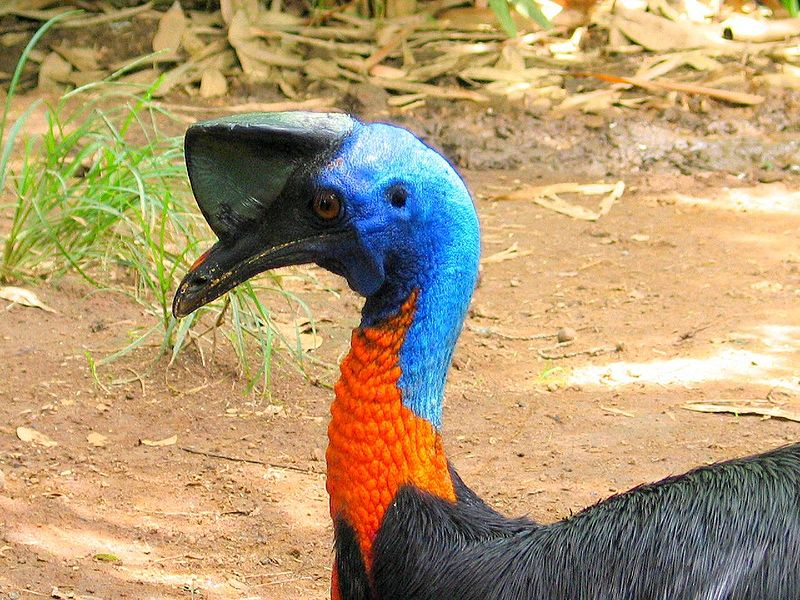 Fájl:Casuarius unappendiculatus -Northern Cassowary -side head and neck.jpg