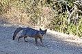 Catalina Island Fox (Urocyon littoralis catalinae) walking and looking at camera.jpg