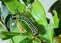 Caterpillar of box tree moth, Germany 2019.jpg